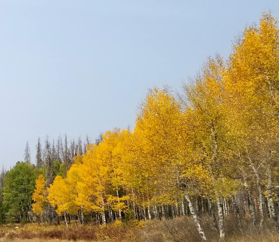 Aspens between Grand Lake and Granby_by Mary Sue Albers