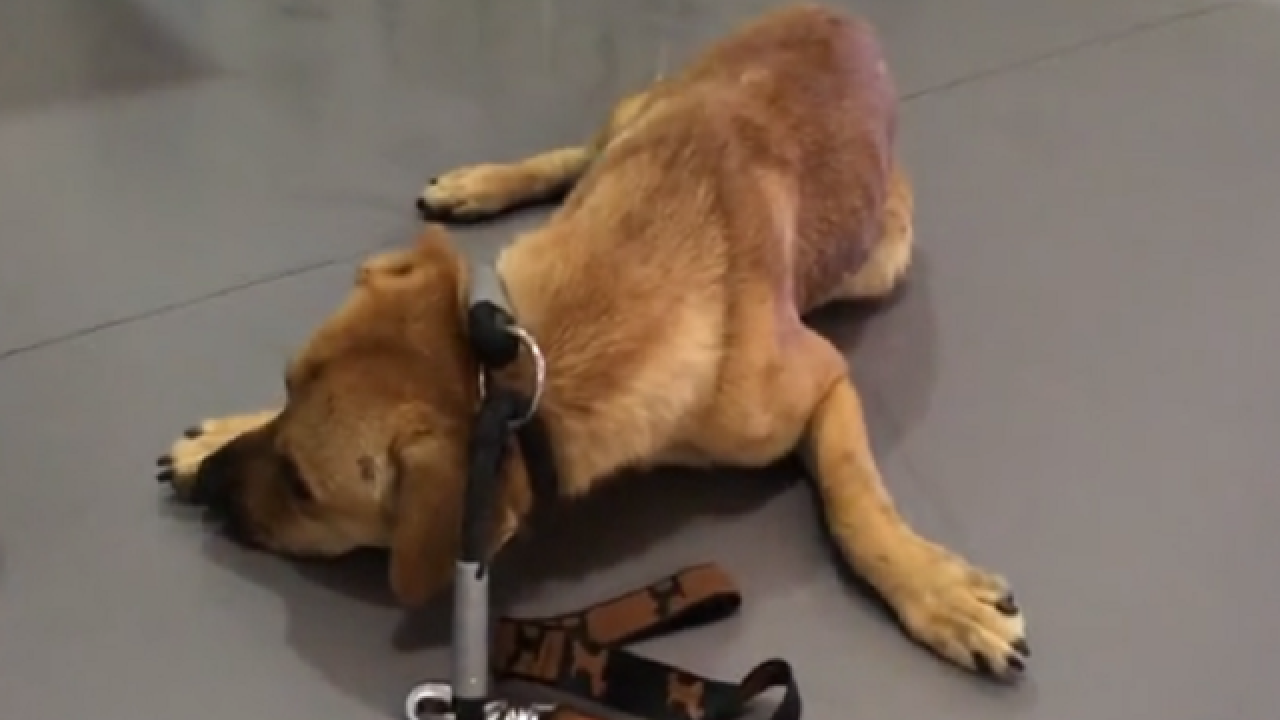 WATCH: Severely traumatized dog makes astonishing recovery