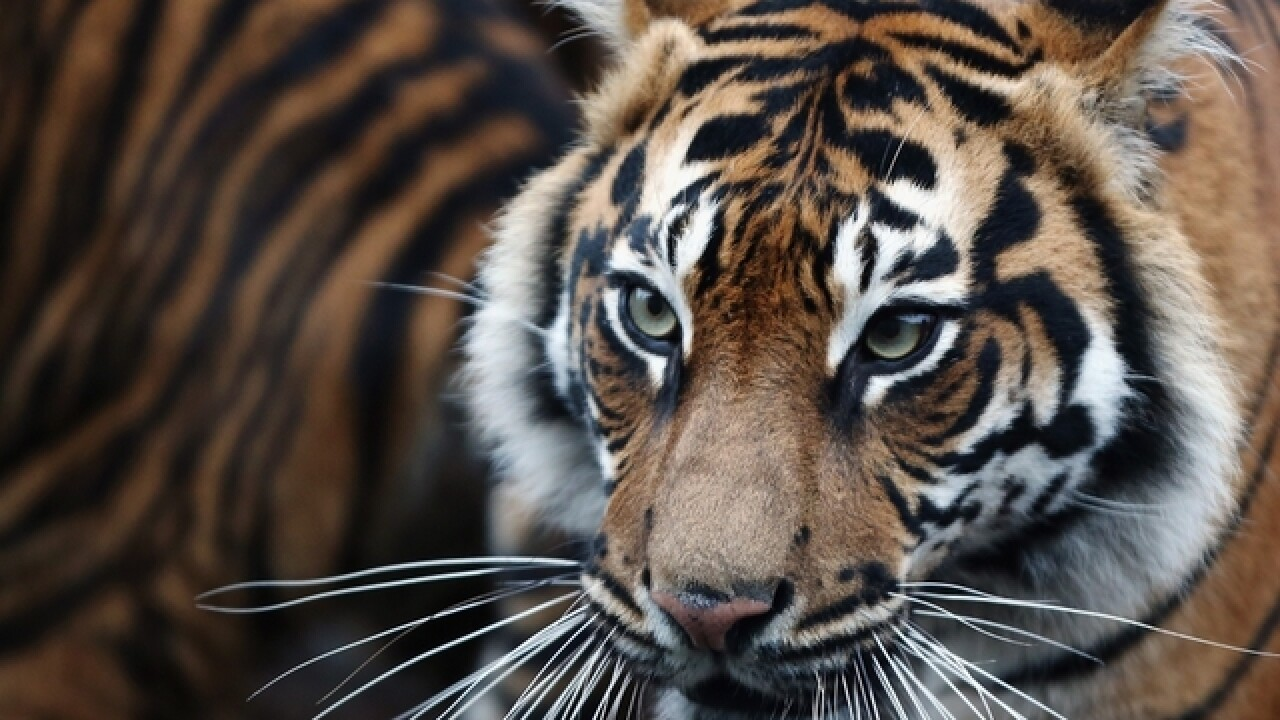 World's wild tiger count finally rising