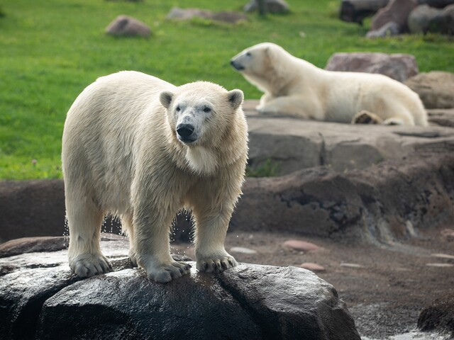 Maryland zoo says goodbye to adult female polar leaving this fall, welcomes two new polar bear cubs