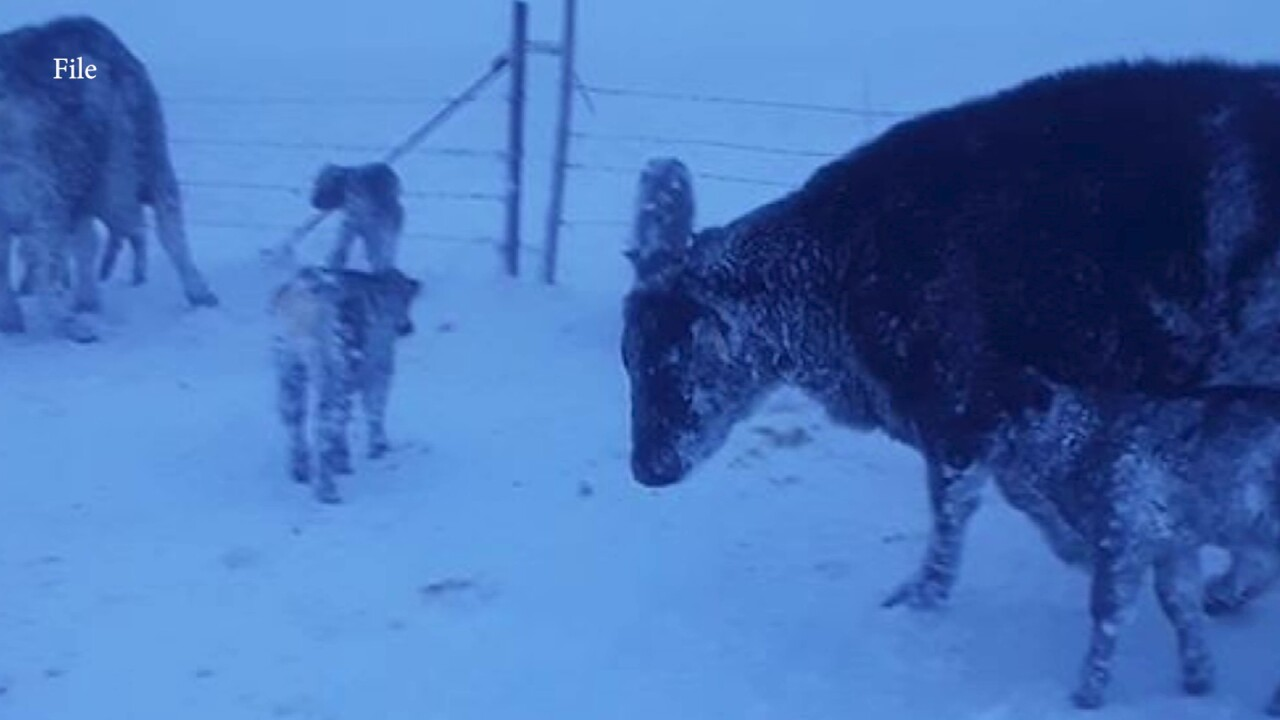 Extreme cold creates a challenge for ranchers during calving season