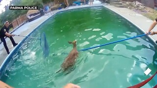 Oh, deer! Video captures officers rescuing two fawns from swimming pool