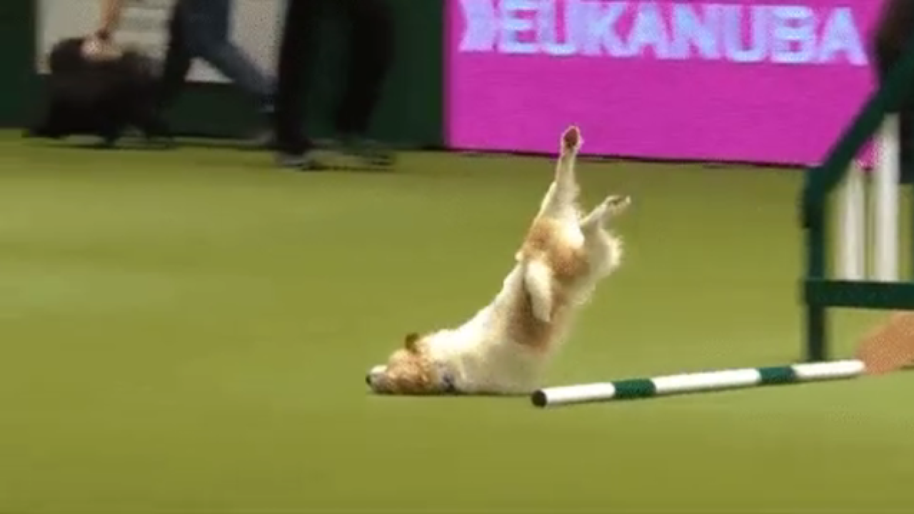 Olly faceplants during dog show, wins the Internet's heart