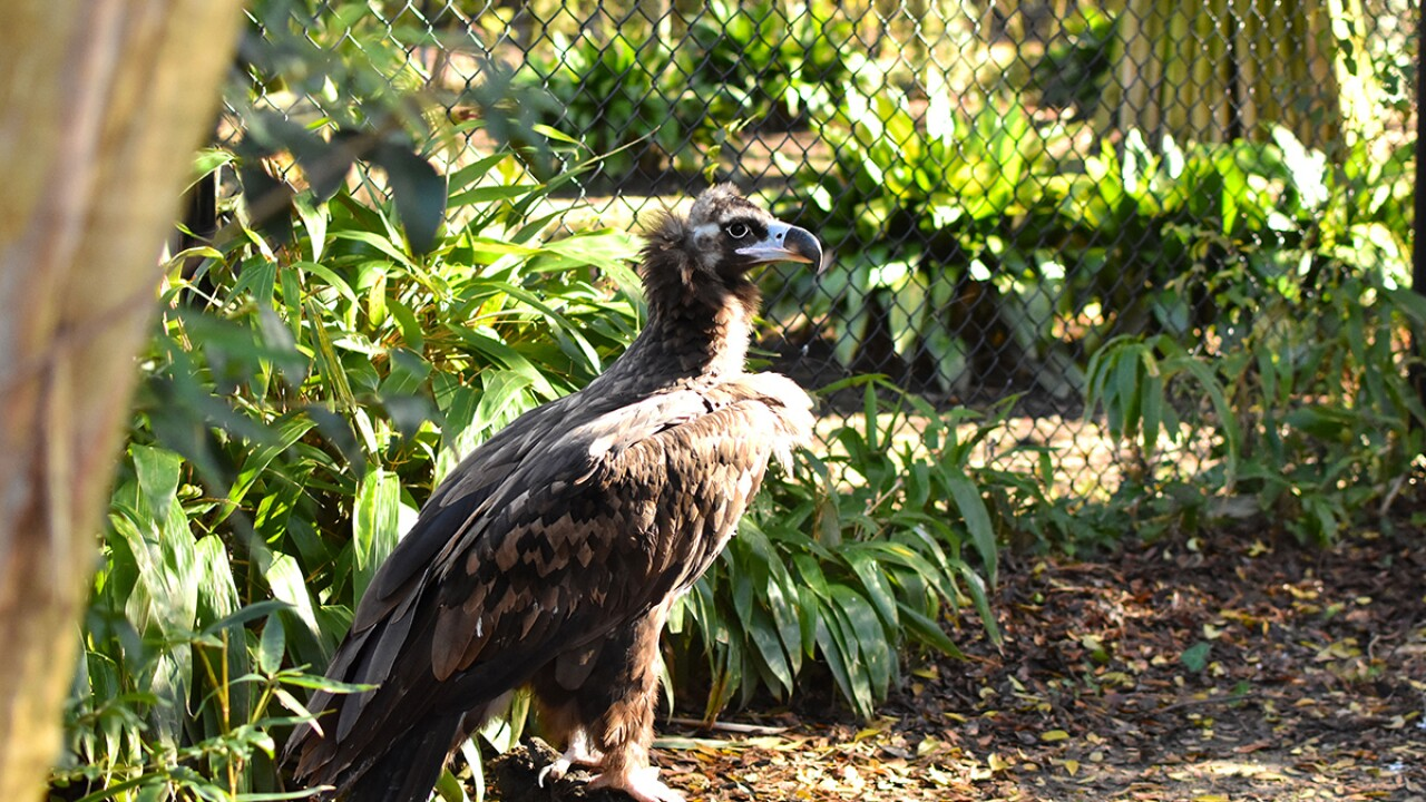 Virginia Zoo Photo 2 Vulture.jpg