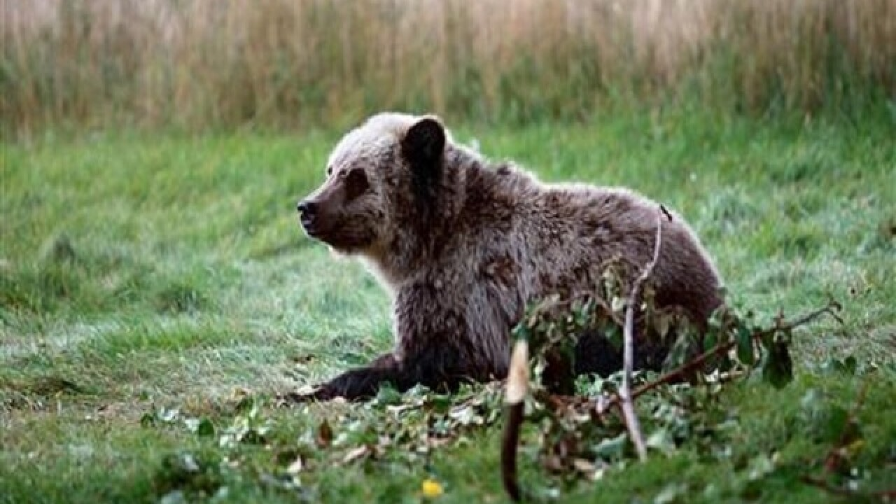 Wildlife officials hunt for bear that killed mountain-biker