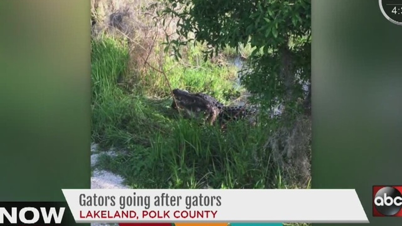 Photographers capture gator snacking on another