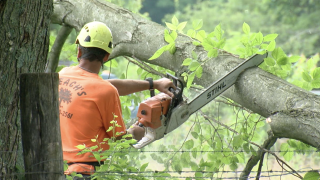 Crews cutting down infested trees from Tom Brown's property on June 2.