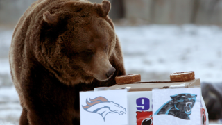 ZooMontana Grizzly Bear to predict Super Bowl 54 winner