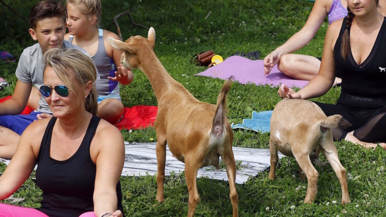 Goat yoga to help reduce stress
