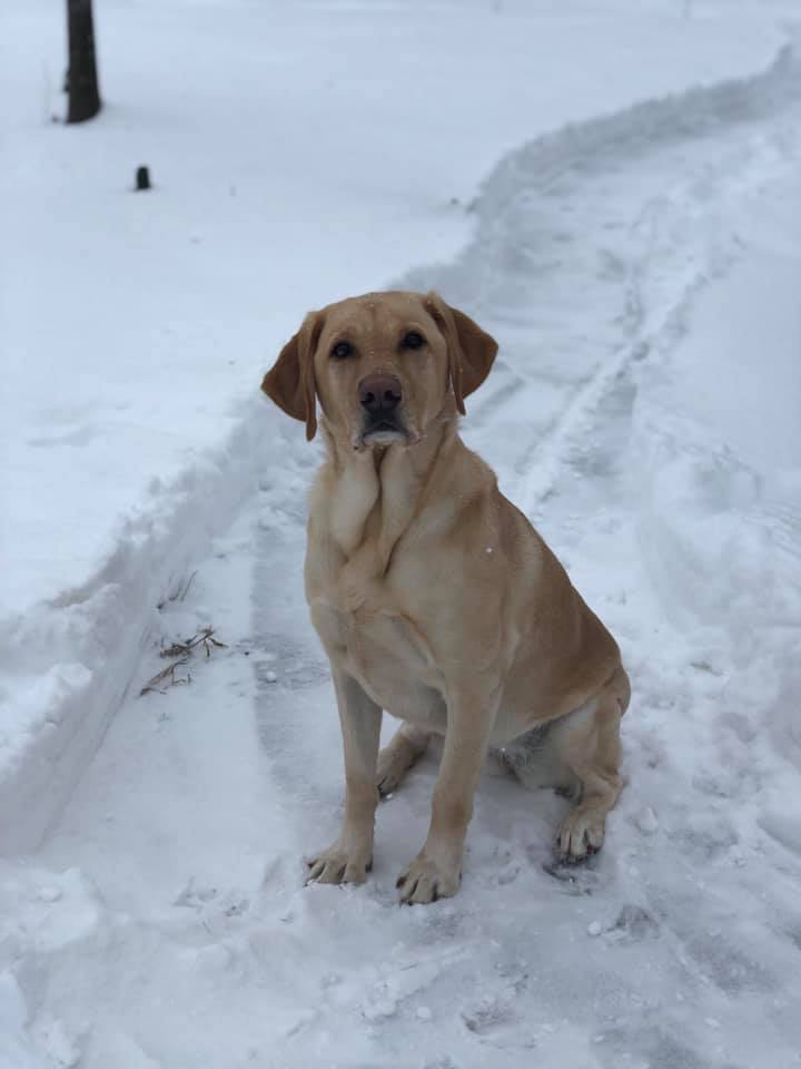 Yellow lab sitting in the snow