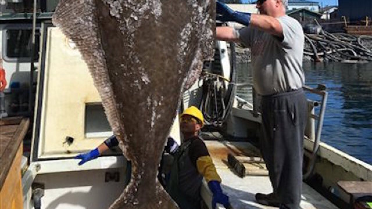 Alaska fishermen snag eight-foot-long, 396 pound halibut