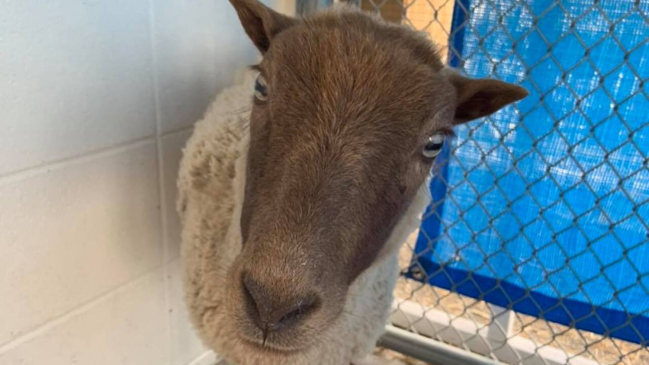 PACC is looking for the owner of this sheep