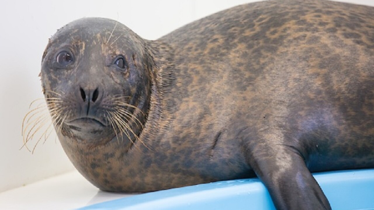 Phil the seal to be released on Tuesday