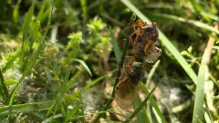 WCPO cicadas.png