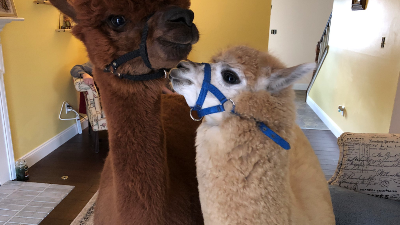 An Ohio family is battling the city and a neighbor to keep their therapy pets — two alpacas