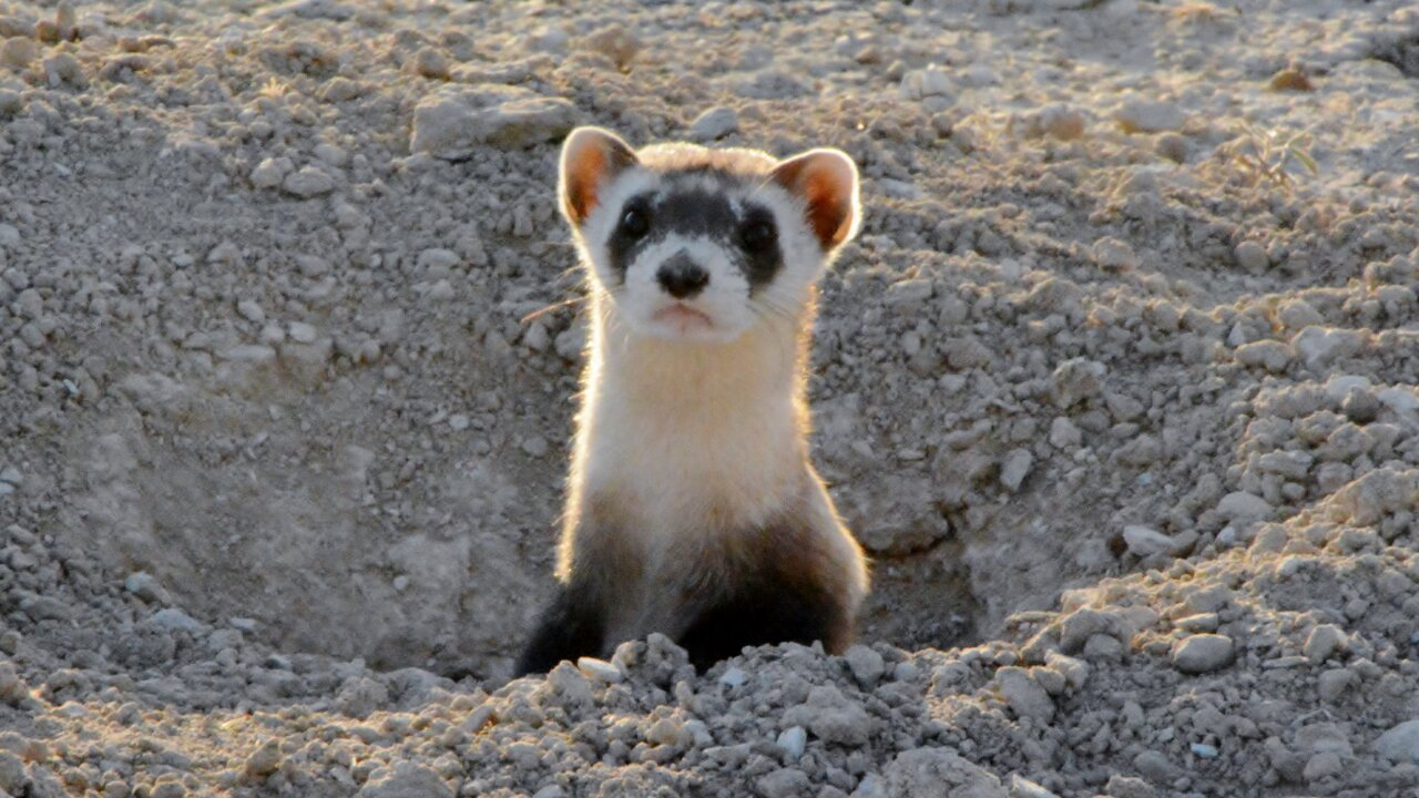 CPW releases 14 endangered black-footed ferrets on Walker Ranch in Pueblo West 3.jpg