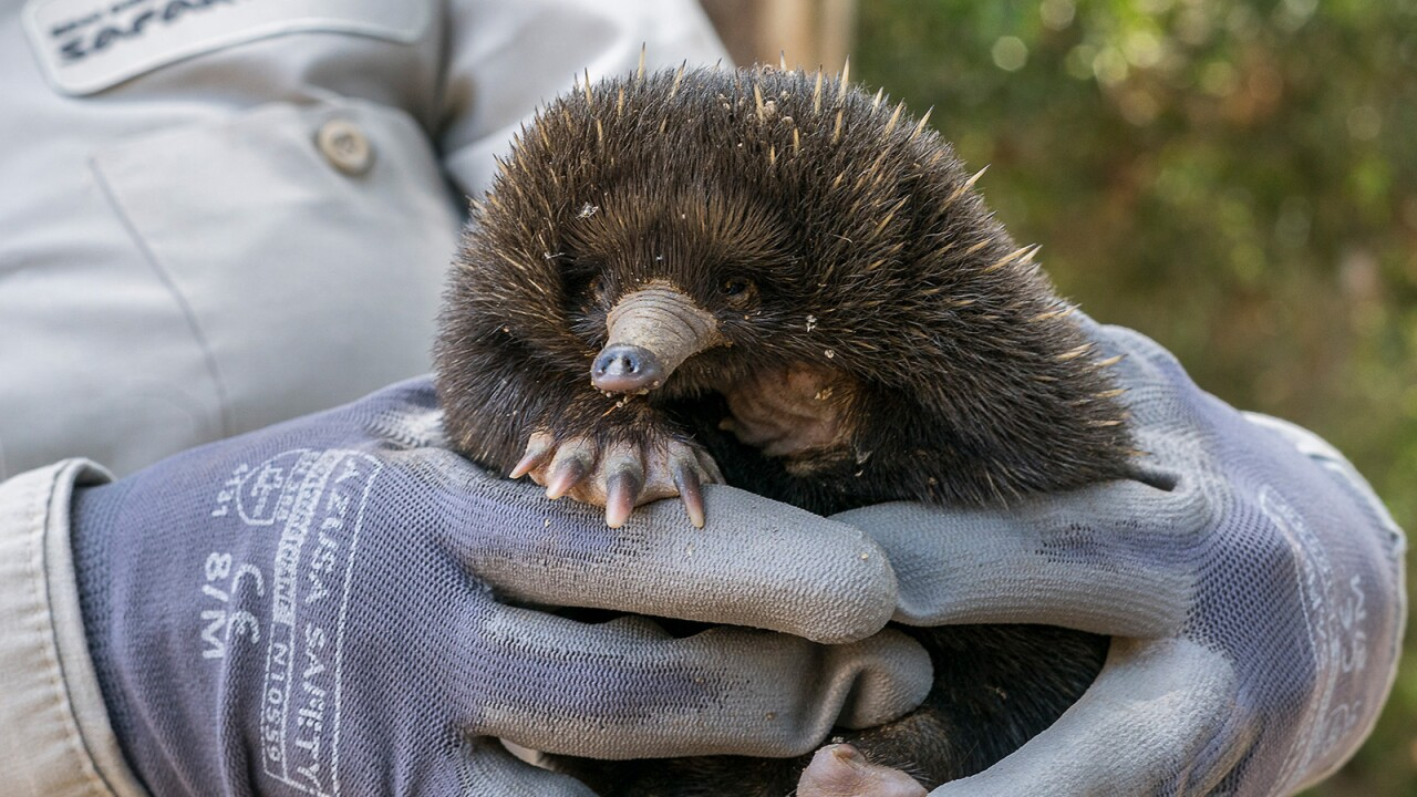 San Diego Zoo Safari Park Celebrates First-ever Echidna Puggle Hatching