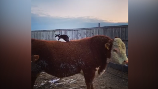 JJ the cat knows how to stay warm this winter - and how to get a free ride around the corrals