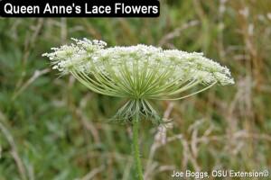 Wild Carrot - Queen Annes Lace - JB.jpg