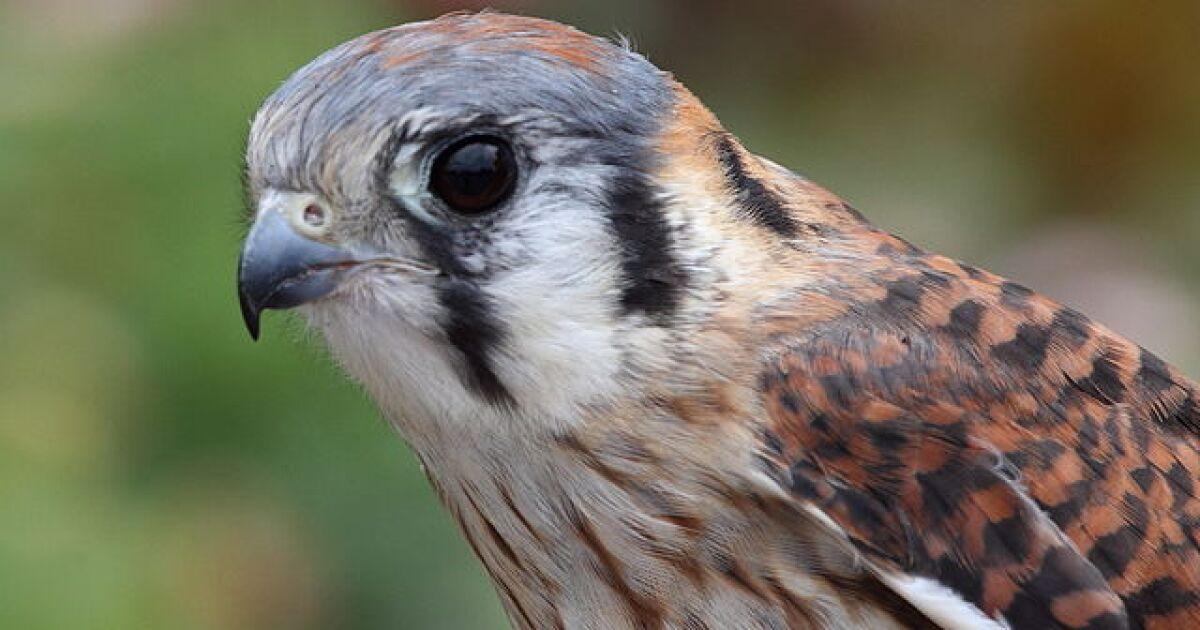 Wild Birds Unlimited to host Watson, an American Kestrel