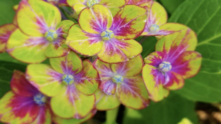 'Pistachio' Hydrangeas Add The Perfect Pop Of Color To Your Garden