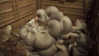 Sugar Moon Mushroom