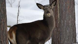 New Deer Hunting Regulations Proposed For 2019 Season