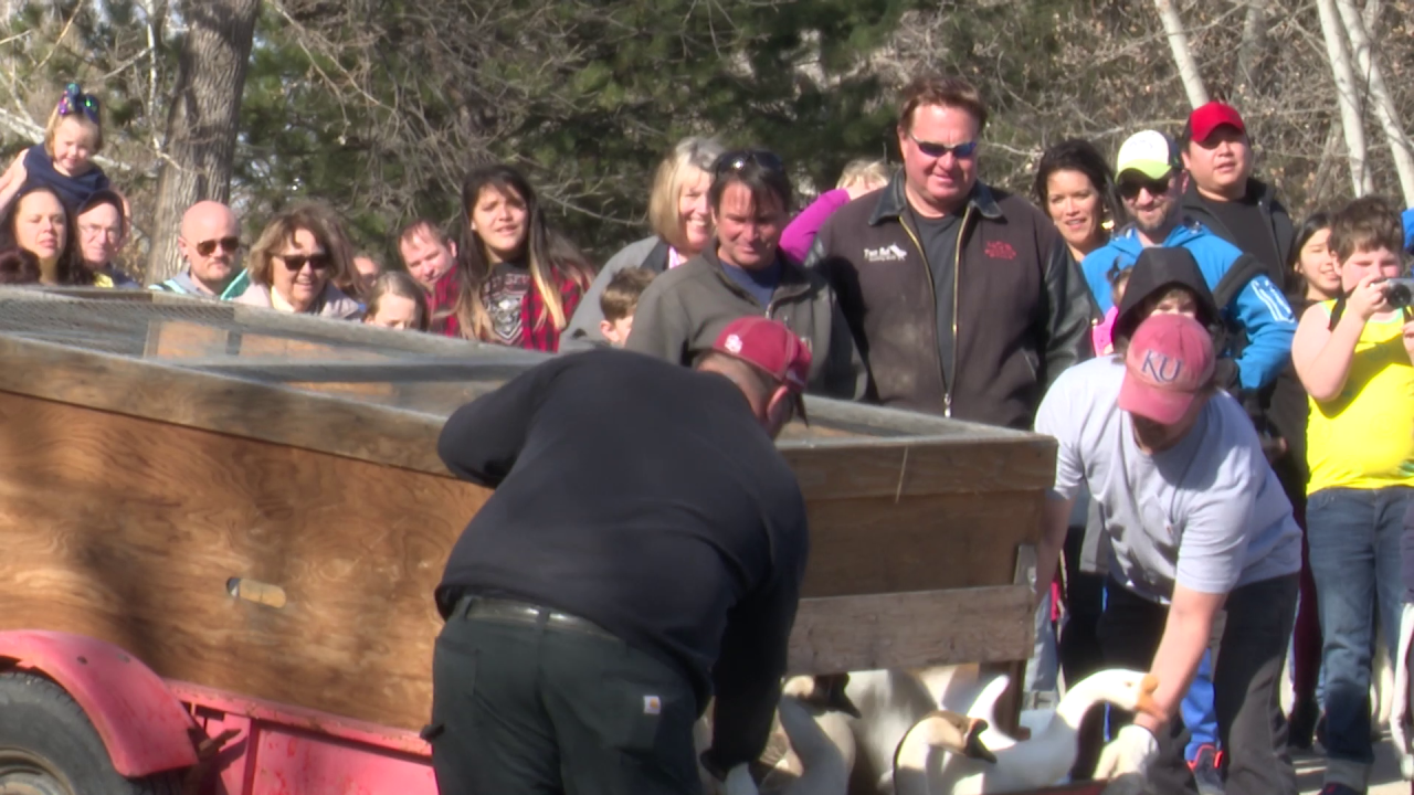 Waterfowl released in Gibson Pond