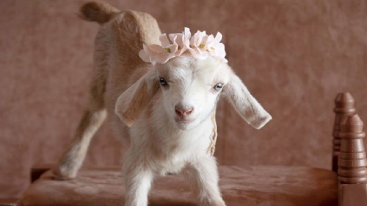 Newborn Photographer Takes Adorable Pictures Of Baby Goats