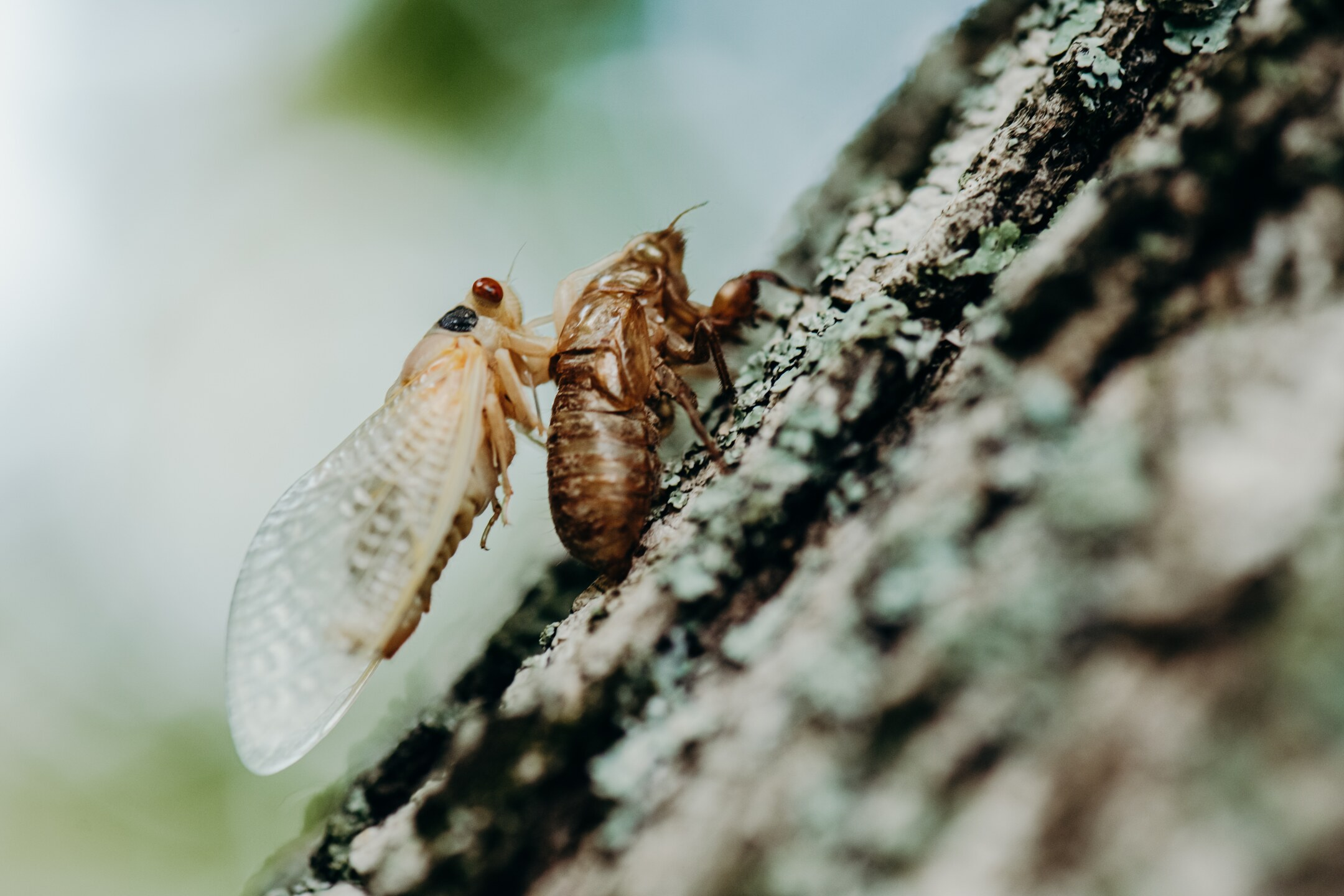 Cicada 2021