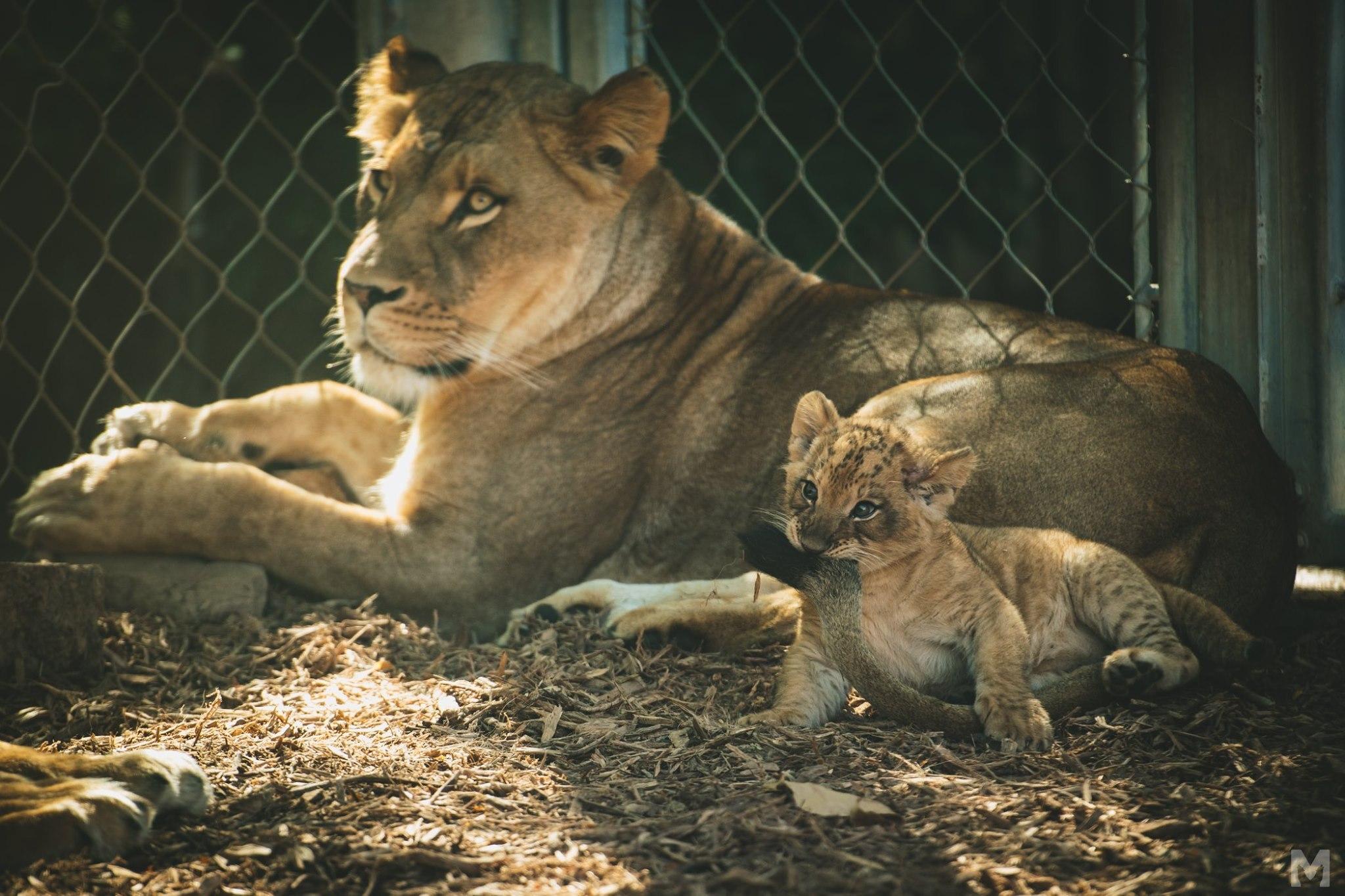 Lion Cub_9_Molly McCormick.jpg