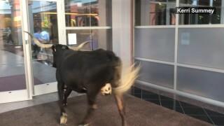 Longhorn cow loose in downtown Colorado Springs