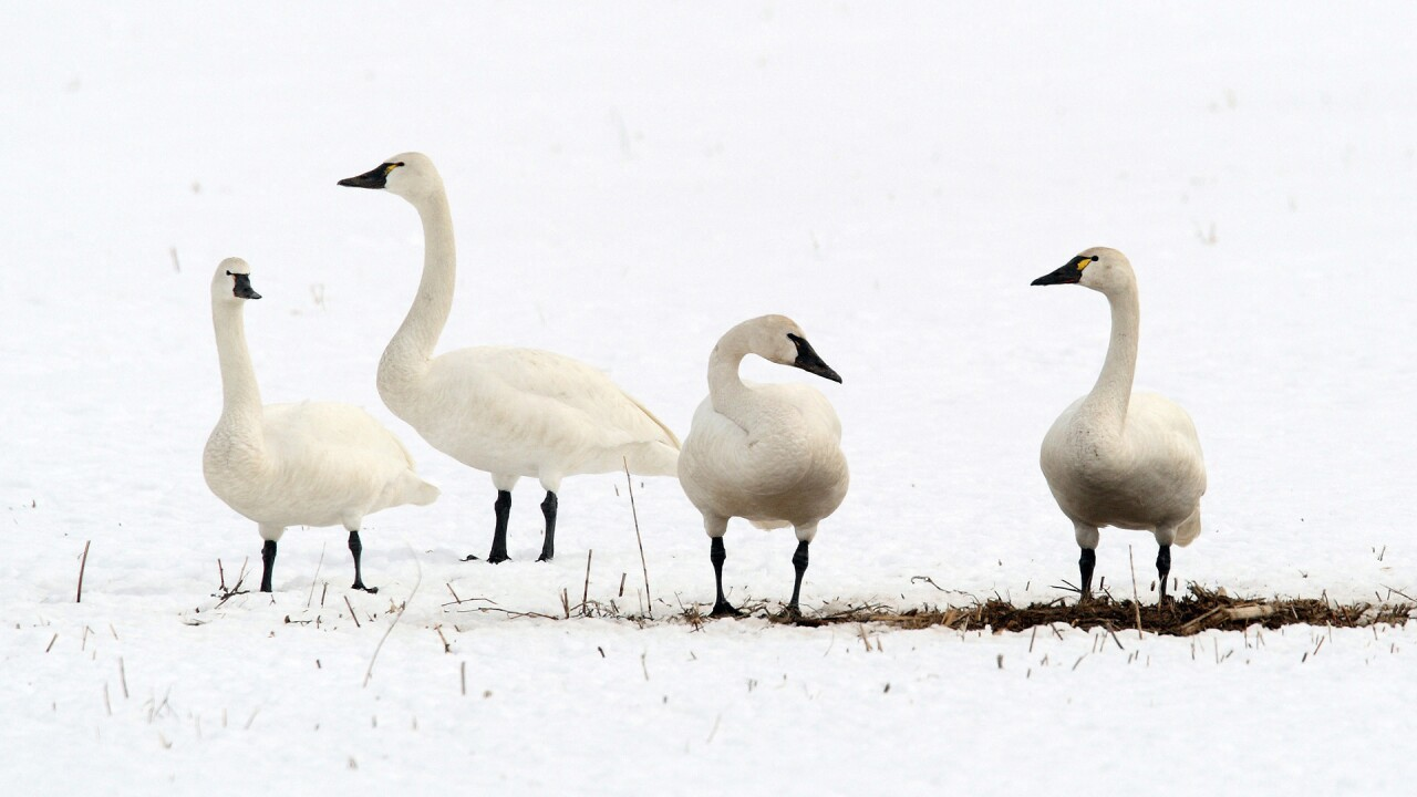 Swan, grouse, crane hunts