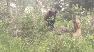 Caught on camera: Bear spotted at Norm's Island Park in Billings
