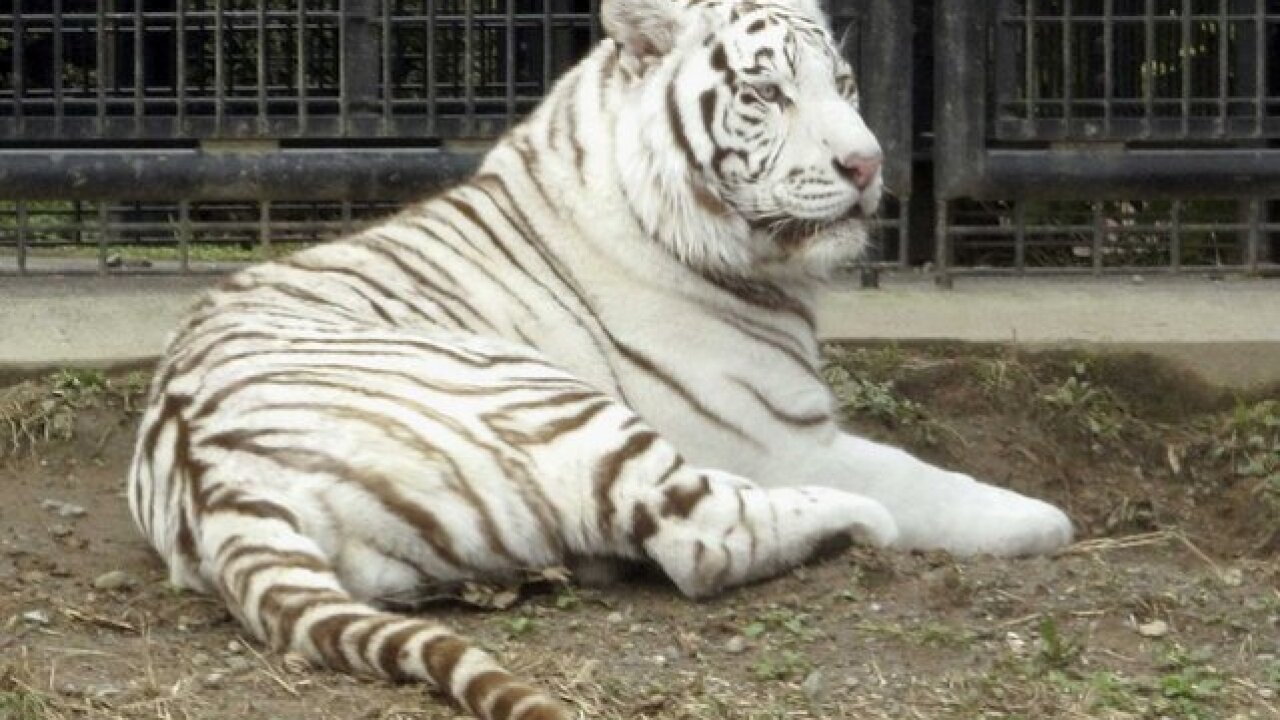 Rare white tiger mauls zookeeper to death in Japan