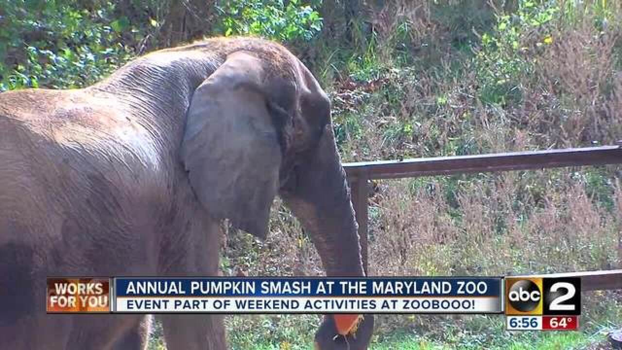 Maryland Zoo's Annual Pumpkin Smash