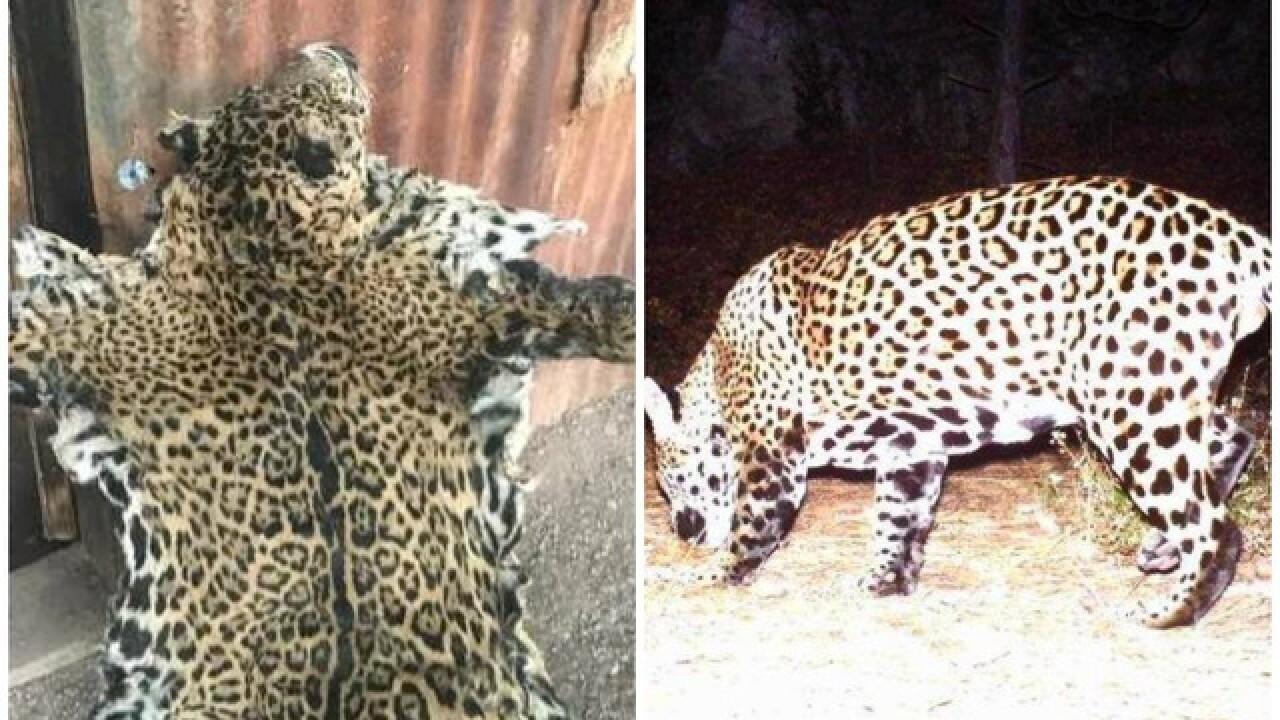 known arizona jaguar shown dead in photo, roamed southern arizona in
