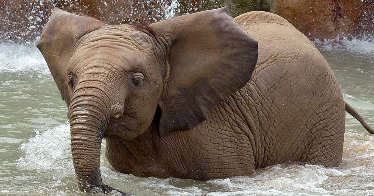 Indy Zoo mourns loss of 6-year-old African Elephant, Nyah