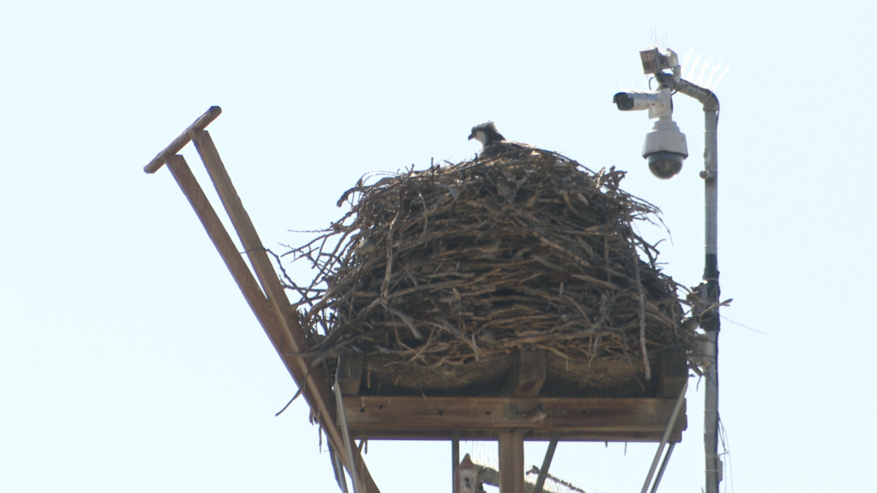 Lolo ranch's Awesome Osprey Project offers unique look at wildlife around the world