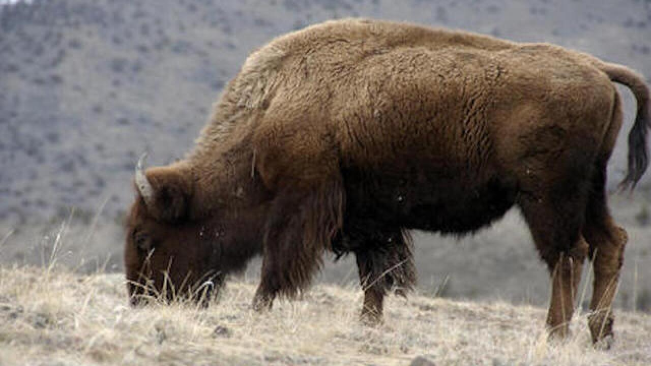 Govt. considering the bison as national mammal