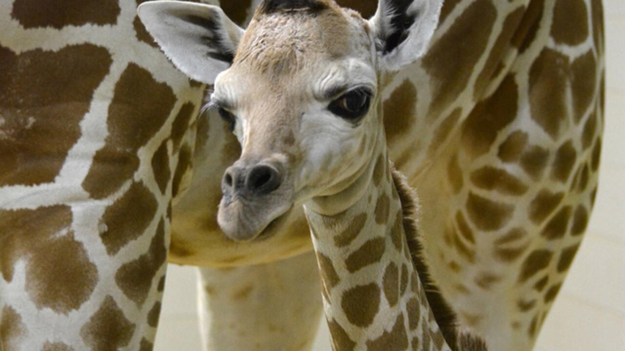 Cheyenne Mtn. Zoo welcomes 200th giraffe calf