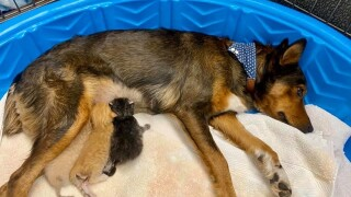 Rescue dog who lost puppies adopts trio of orphaned kittens