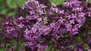 'Bloomerang' Lilacs Bloom From Spring Until Fall
