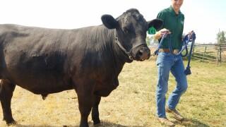 Ashton McGaugh and his steer