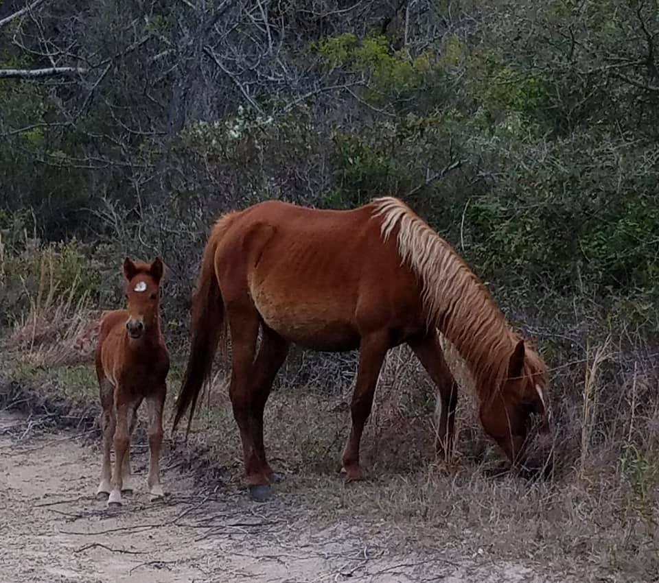Photos: Corolla Wild Horse Fund announces newfoal