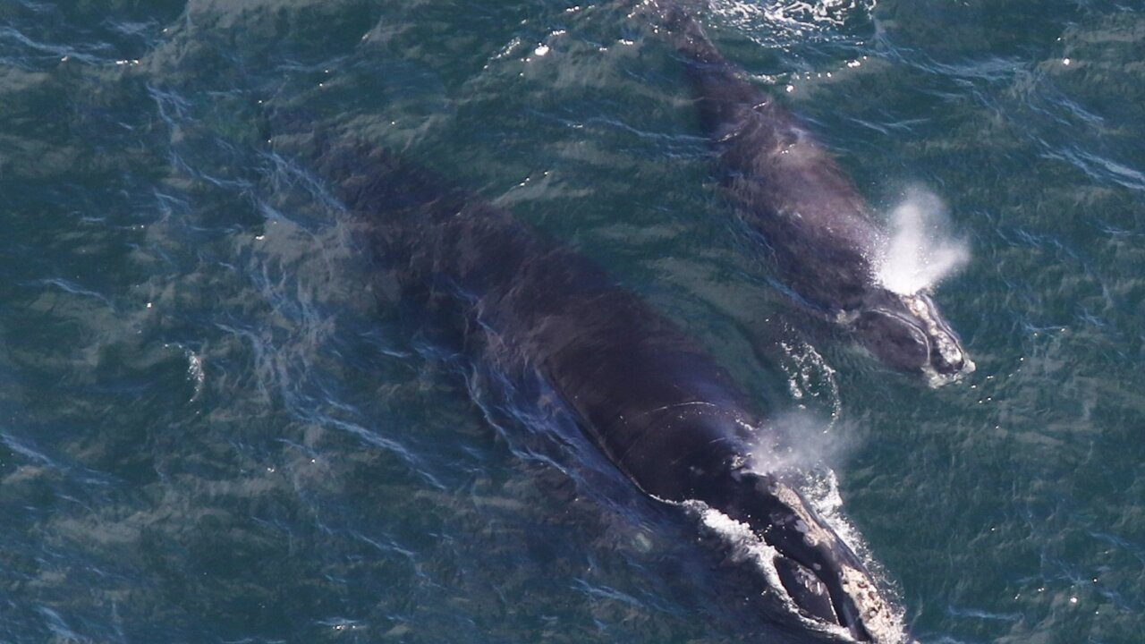 Baby whale sighting sparks hope for the future of an endangered species