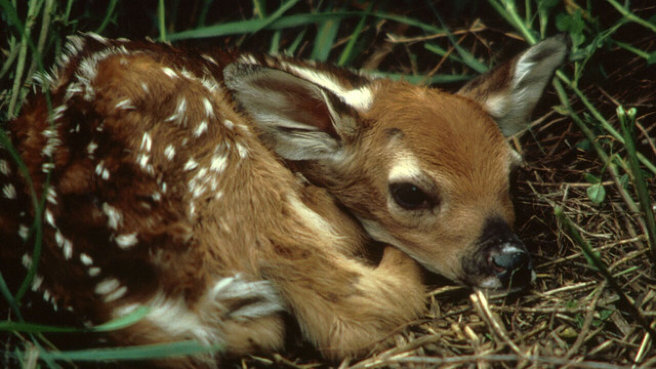Fawn euthanized after person dropped it off at  animal shelter in Durango