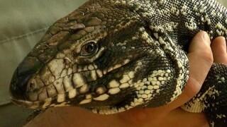 Will Tegu hunt control growing population?