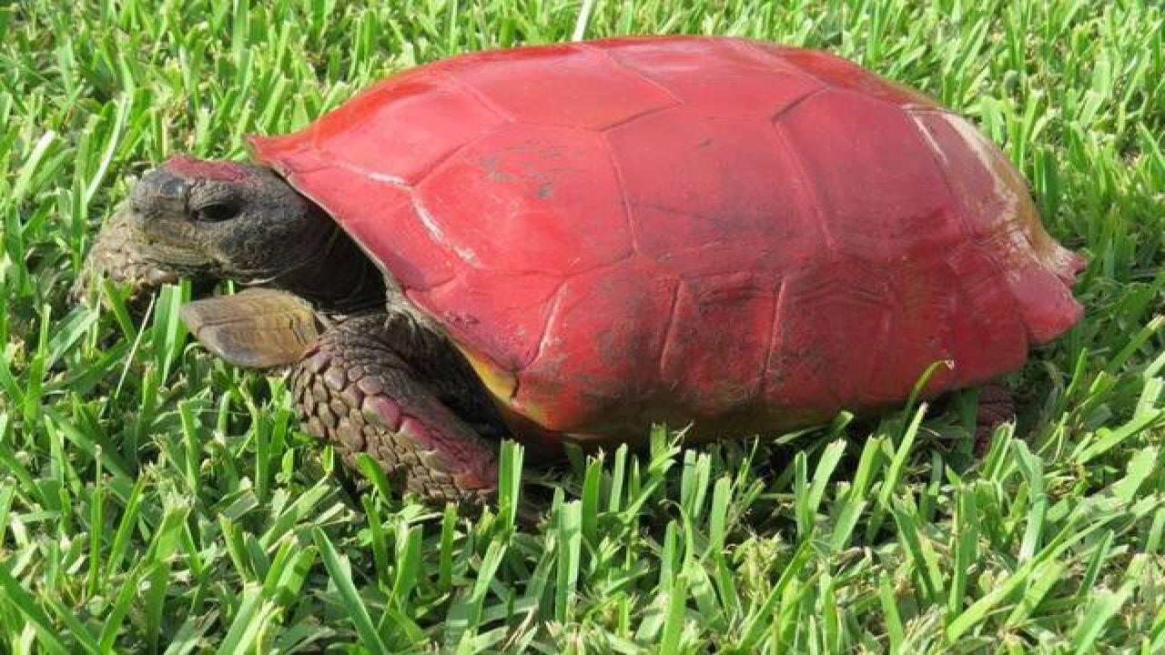 Gopher tortoises abused in Southwest Florida