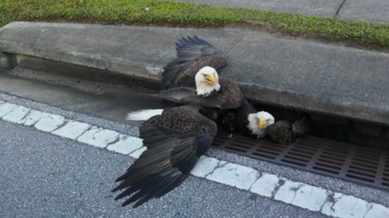 Bald eagle rescued from Orlando storm drain